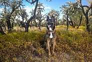 Belgian Malinois dog posing in the Arizona Desert