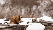 Yellow-bellied marmot,Marmota flaviventris