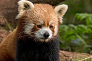 Red Panda Sitting Up Close Up Alert