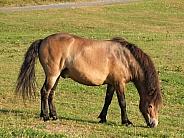 Exmoor Pony Grazing