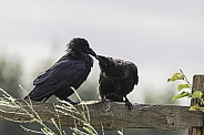 Common Raven Adult with a Juvenile in Alaska
