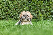 Sunbathing Puppy
