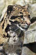 Clouded Leopard