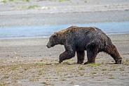 Alaska Peninsula Brown Bear or Coastal Brown Bear