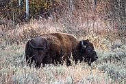 Bison on the Sagebrush Flats