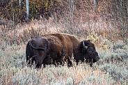 Bison on the Sagebrush Flats