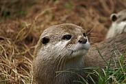 Asian short clawed otter