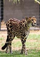 King Cheetah