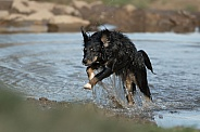 Mongrel Dog (origin unknown) Enjoying The Water