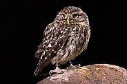 Little Owl Full Body Black Background