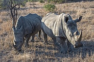 A Pair of Adult Rhinoceros in South Africa Savanna
