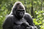 Western Lowland Gorilla Sitting Upright