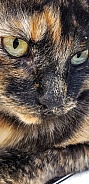 Domestic Longhair Torti Cat