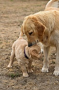 Golden retriever puppy and Mom