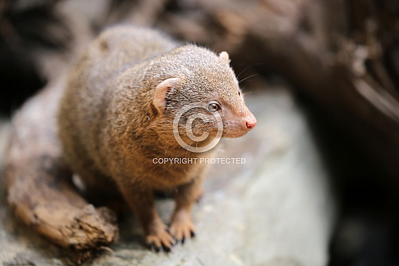Common dwarf mongoose.