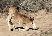 Young wild horse foal trying to stand