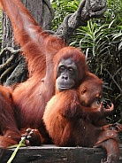 Orangutan Mother & Baby