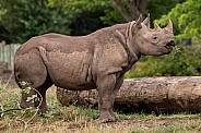 Young Black Rhino Side Profile Full Body