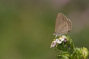 Common Grass Blue butterfly.