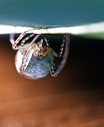 Comb foot spider