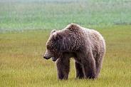 Alaska Peninsula Brown Bear in the Rain