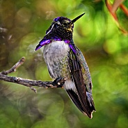 Hummingbird - Costa's with Pollen