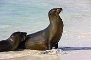 Galapagos Sea Lion - Galapagos Islands - Ecuador