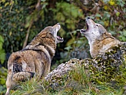 Pair of Grey Wolves Howling