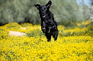 Black Labrador Retriever running through flowers