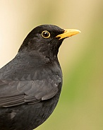 Male Common Blackbird Portrait