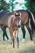 Filly Foal