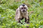 Tufted capuchin (Sapajus apella)