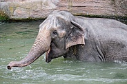 Asian Elephant bathing