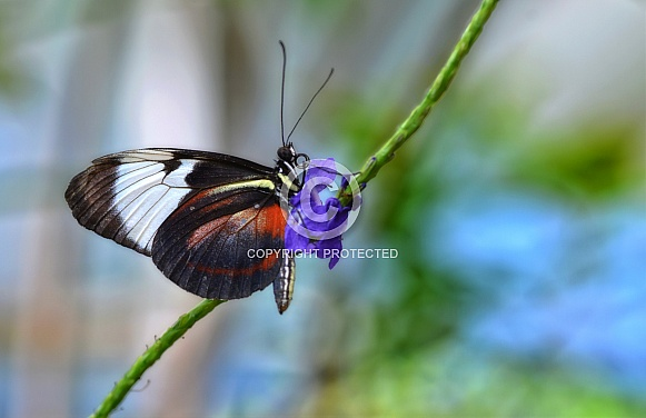 Butterfly - Cydno Longwing