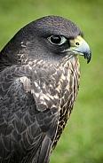 Black Gyr Peregrine Falcon
