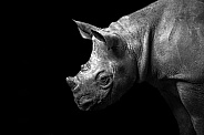Black Rhino Calf in Black and White