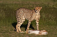 Cheetah standing over kill