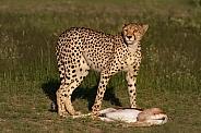 Cheetah standing over kill