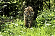 Sumatran Tiger Walking Towards Camera Through Foliage