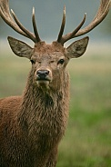 Red deer stag with horns