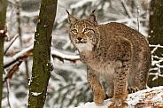Lynx in snow