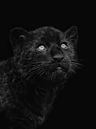 Jaguar Cub LowKey