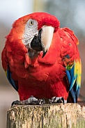 Scarlet Macaw Full Body Shot