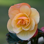 Yellow & Peach Begonia