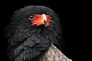 Bateleur Eagle Close Up Black Background