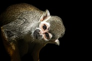 Squirrel Monkey Close Up Head Tilt