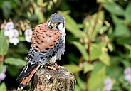 American Kestrel Looking Over Shoulder