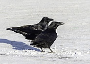 Pair of Common Raven in Alaska