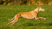 Golden Greyhound at Speed