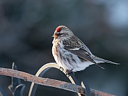 Female Common Redpoll